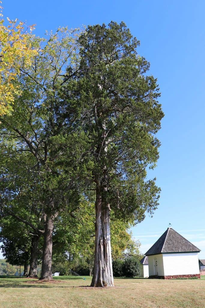 Effingham Manor Winery - Cedar Tree Gifted by Lewis and Clark