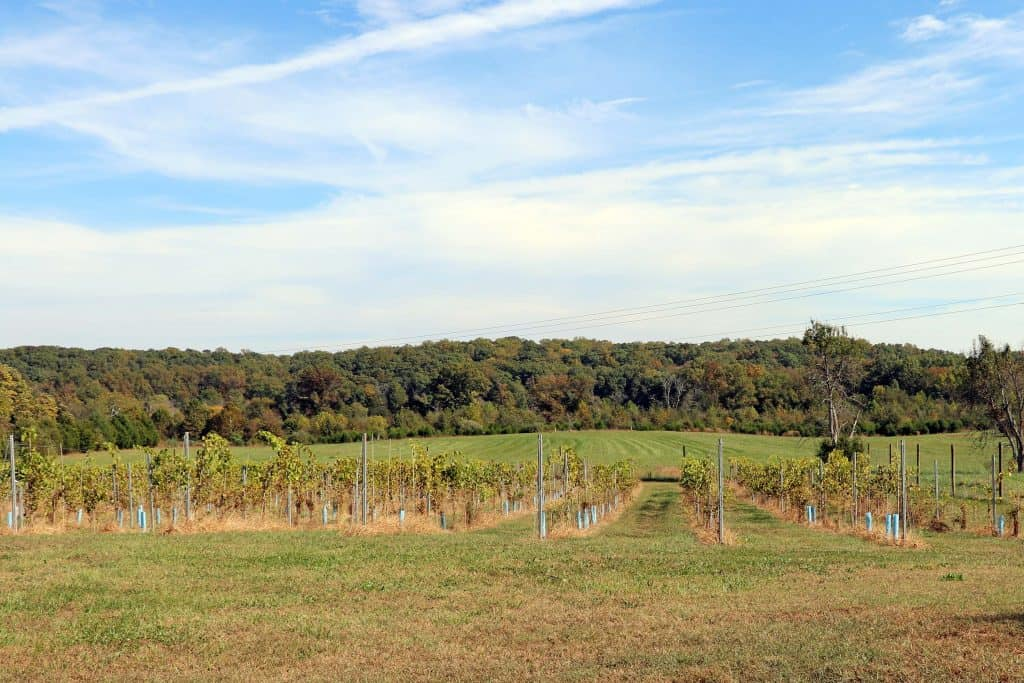 Effingham Manor Winery - Young Chambourcin and Norton Vines